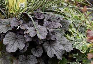 Wo erhalten Sie die »Inverno Magico« Pflanzen?